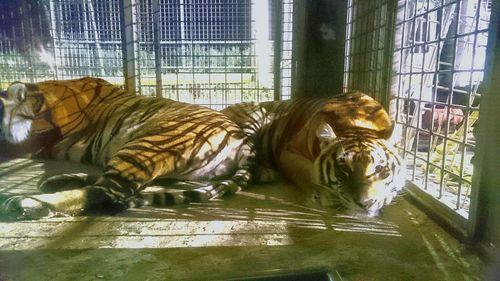 """Animali, M5S: """"Questo circo è illegale. Il blitz durante la notte a Salerno"""""""